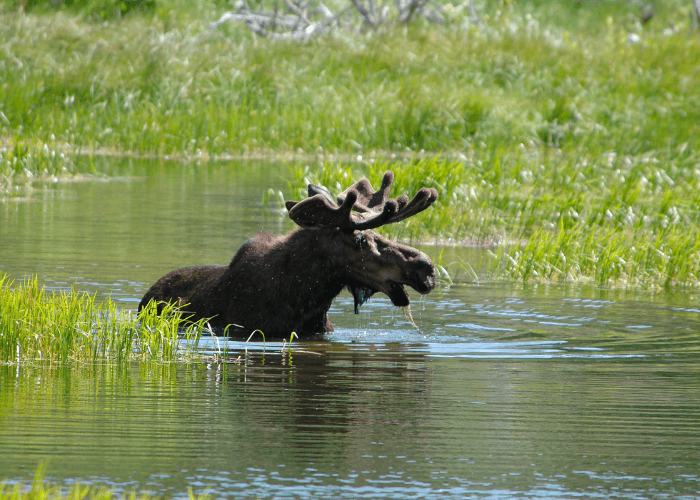 bwca wildlife